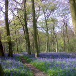 BLUEBELL WALK - LETS 1 (Small)